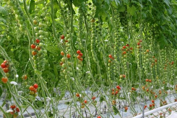 В Екатеринбурге начали выращивать томаты «черри» в промышленных масштабах
