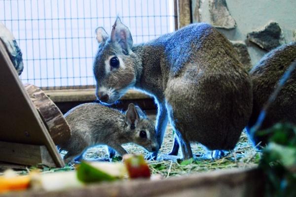 Патагонские зайцы из Екатеринбургского зоопарка впервые принесли потомство