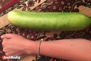 «Чернобыльский урожай». Свердловчанка вырастила в саду гигантские огурцы размером с кабачки. ФОТО