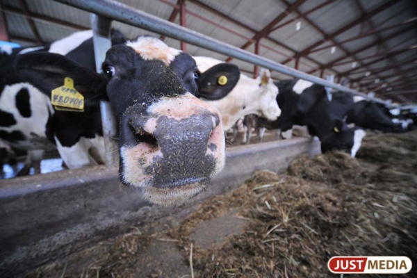 Производство молока наСреднем Урале возросло на4%