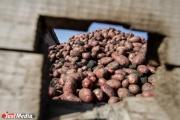 Со свердловских полей сняли половину урожая картофеля