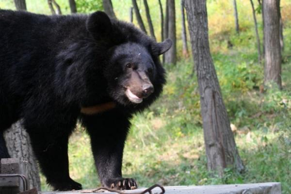 У школы в амурском поселке застрелили агрессивного медведя