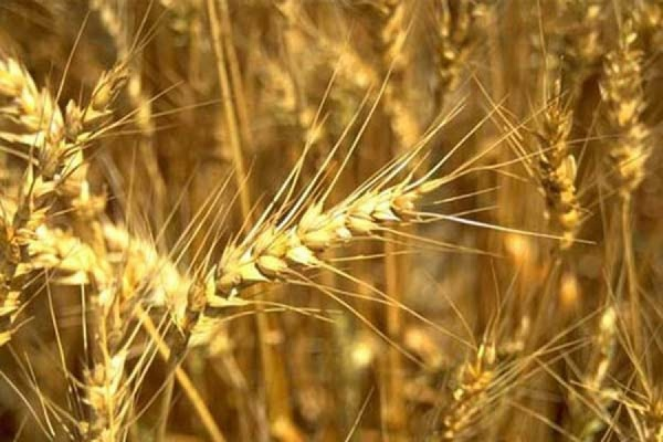 Правительство отменило экспортную пошлину на пшеницу
