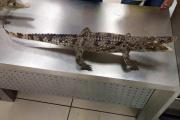 В Кольцово арестовали двух… крокодилов