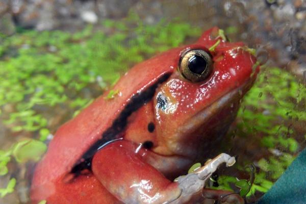 Лягушка-помидор и огненная саламандра: в Екатеринбургском зоопарке открылась экспозиция амфибий