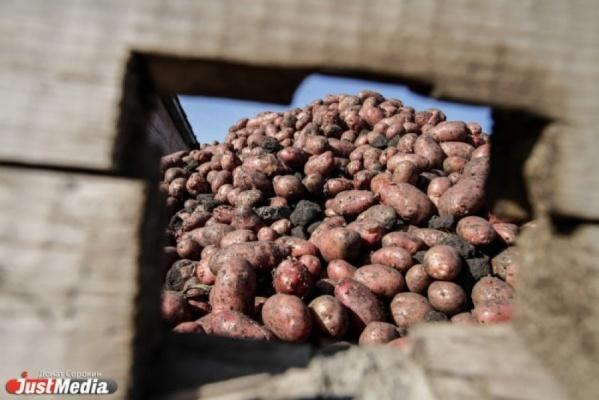 Свердловчан полностью обеспечили овощами, а животных кормами