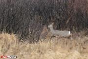 Каменский браконьер заплатит за отстрел косуль 400 тысяч рублей