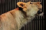 В Екатеринбургском зоопарке выбирают имя для новой подружки льва Эрни