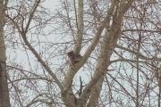 В Серове полиция и МЧС спасли застрявшую на дереве рысь