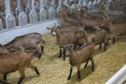 В новое хозяйство «УГМК-Агро» завезли стадо альпийских коз стоимостью 1 млн €. ФОТО, ВИДЕО, ИНФОГРАФИКА