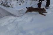 В Серове застрявшую на дереве рысь выпустили на свободу
