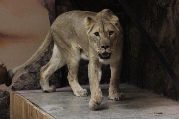 Льву Эрни из Екатеринбургского зоопарка привезли невесту из Крыма