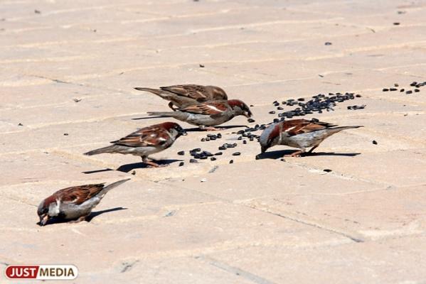 «Это для них смерть»: орнитологи просят свердловчан не кормить птиц ржаным хлебом, старыми крупами и солеными семечками