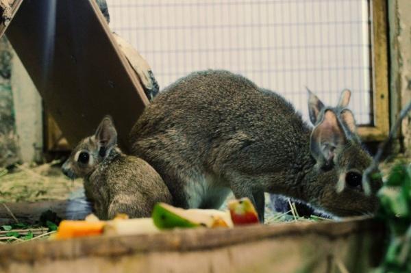 В Екатеринбургском зоопарке пополнение в семье чакоанских мар. ФОТО