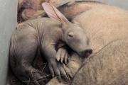 В Екатеринбургском зоопарке родился земляной поросенок