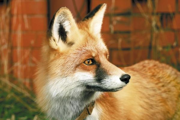 Лучшей парой Екатеринбургского зоопарка стали лисы Лютик и Лизовета