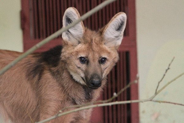 Лучшим самцом Екатеринбургского зоопарка стал гривистый волк Стоун