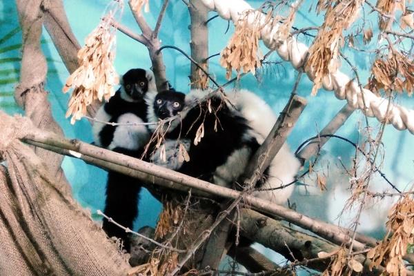 Лемуры из Екатеринбургского зоопарка переехали на остров Мадагаскар