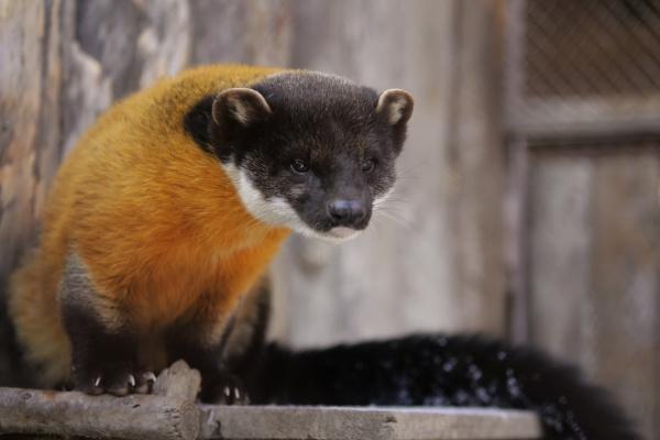 Главной красавицей Екатеринбургского зоопарка стала харза Герда