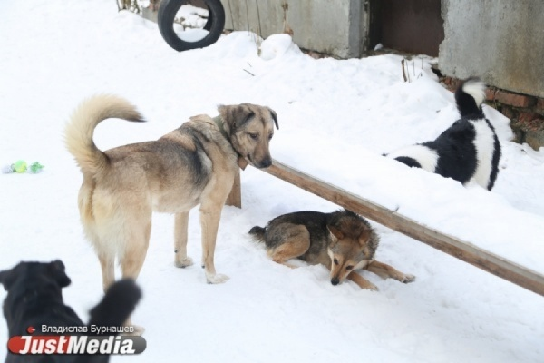 «Воспитывать надо не собак, а их владельцев». Эксперты и кинологи заявили, что спасти уральцев от нападений домашних животных сможет только закон