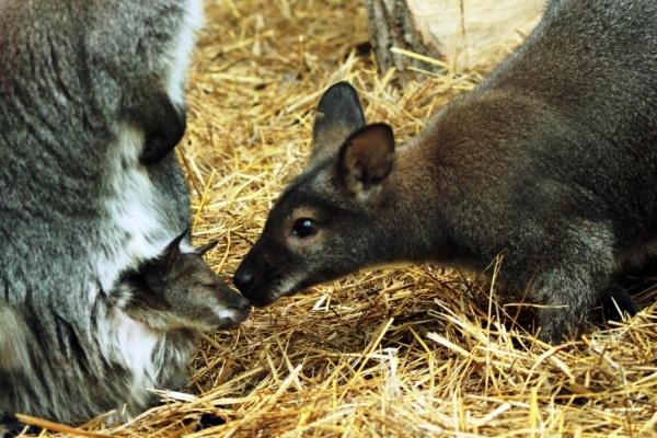 В Екатеринбургском зоопарке детеныш кенгуру Беннета показался из сумки