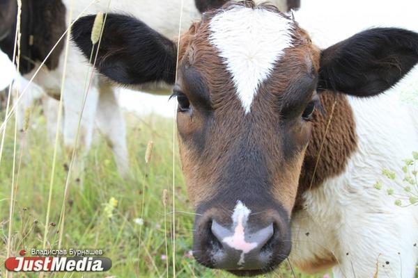 Уральские коровы стали давать больше молока, а куры – нести больше яиц