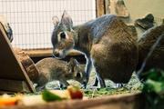 В Екатеринбургском зоопарке патагонская зайчиха родила тройню