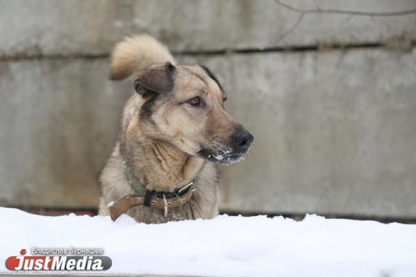 Крупнейший вЕкатеринбурге приют для собак стал рассадником чумки