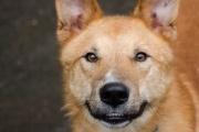 «Лютик попал в ПКС после того, как бывший хозяин чуть не зашиб его лопатой». Добрый и энергичный рыжий пес ищет семью