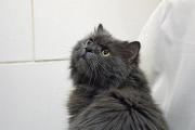 «Барин потерял своих пожилых хозяев и оказался в ПКС». Солидный кот ищет новый дом и подушку через JUSTПУХ