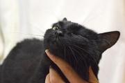 Выразительно мурлыкающий кот с белым бантиком на груди ищет новый дом через JUSTПУХ