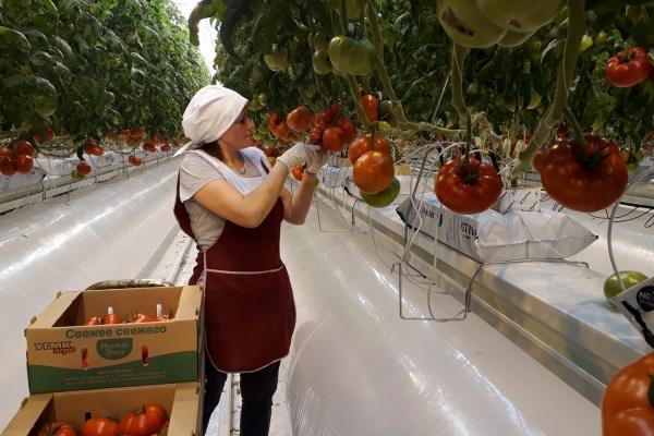 В теплицах УГМК-Агро в Екатеринбурге поспели первые помидоры