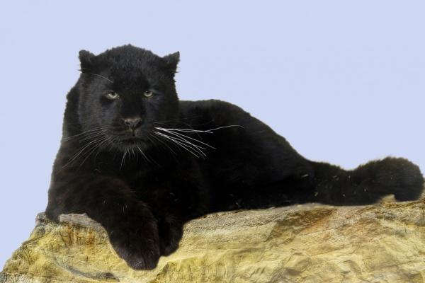 В Екатеринбургском зоопарке поселилась пара самых редких в мире кошек. ФОТО