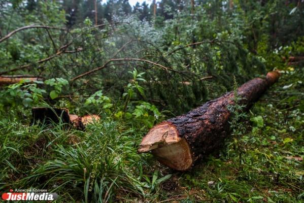 Под Екатеринбургом черные лесорубы нарубили деревьев на 3 млн рублей