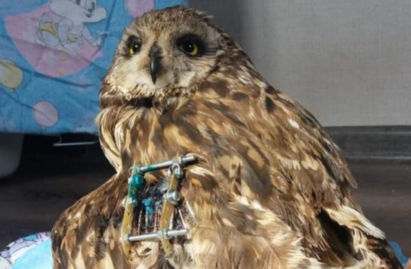 Истощенной сове, найденной в лесу, провели операцию и сохранили крыло