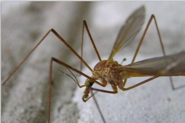 Комары-долгоножки атаковали Екатеринбург