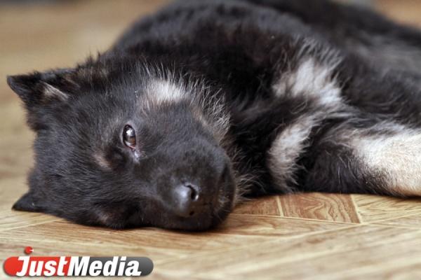 В Екатеринбурге собака напала не только на старушку, но и на прохожего, который пытался защитить женщину