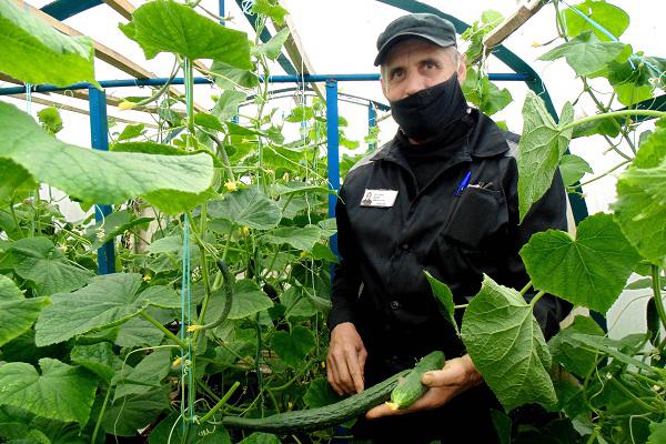 В ИК-26 осужденные выращивают огромные огурцы сорта «Настоящий полковник»