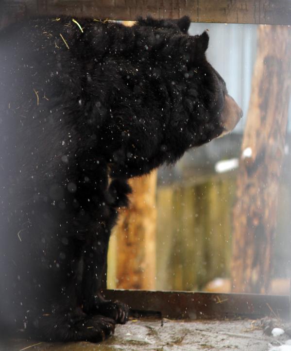 В Екатеринбургском зоопарке медведи ложатся в спячку